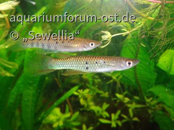 Aplocheilus dayi dayi - Pair