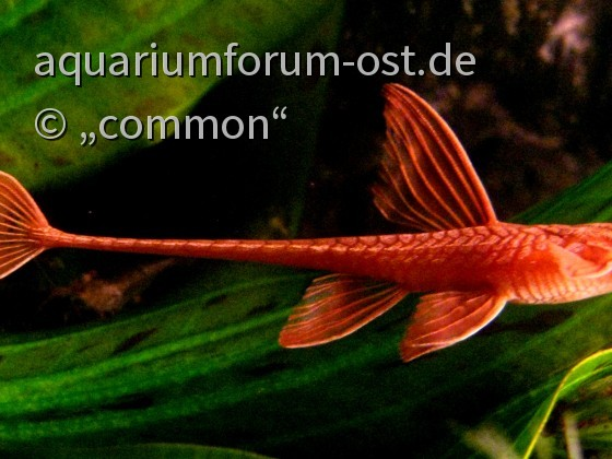 """roter Hexenwels, Leliella sp. """"rot"""""""