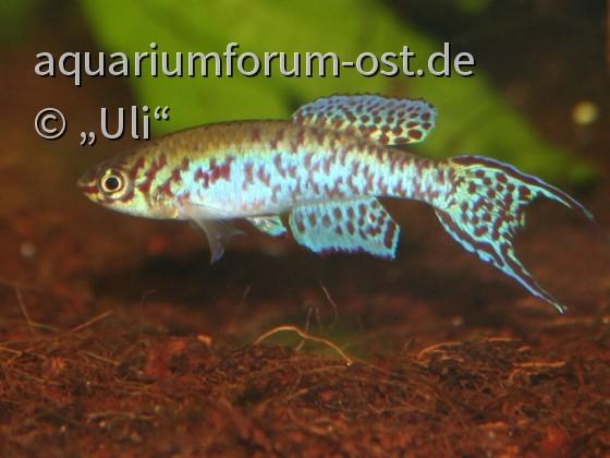 """Fundulopanchax arnoldi """"CI 02 Ijebu Waterside"""""""