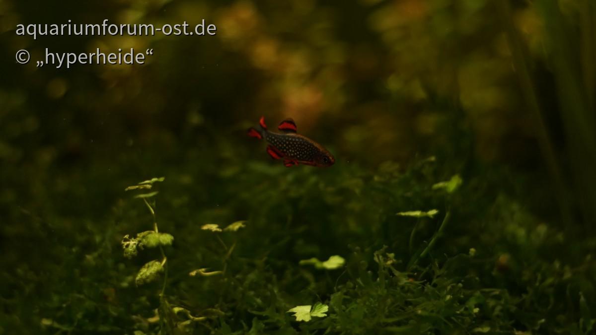 Perlhuhnbärbling (älteres Männchen)