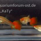Albino 'Koi' Guppy Weibchen