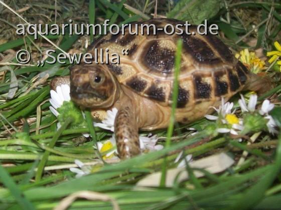 Weibliche Russische Vierzehenlandschildkröte - Testudo horsfieldii