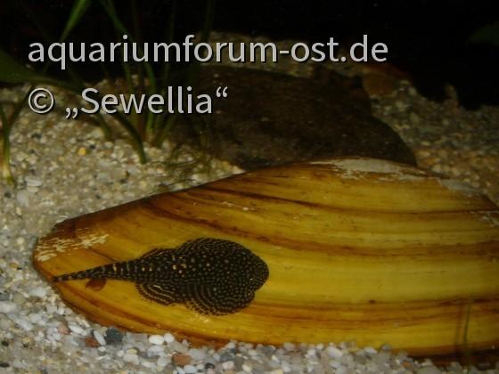 Sewellia sp. spotted auf einer Großen Teichmuschel