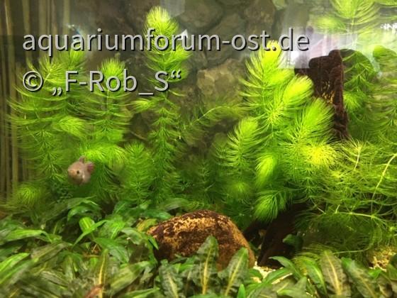 Kampffische im Wohnzimmeraquarium