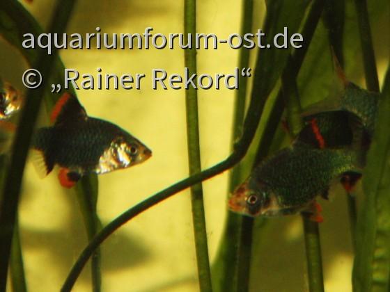 Moosgrüne Sumatrabarbe oder Viergürtelbarbe (Puntigrus cf. tetrazona) 6