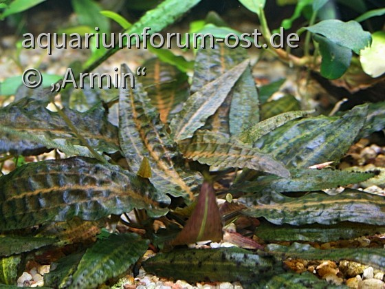 Cryptocoryne affinis