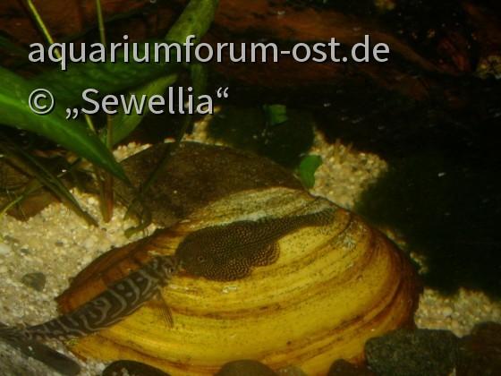 Begegnung auf einer Großen Teichmuschel - Mesonoemacheilus triangularis und Sewellia sp. spotted