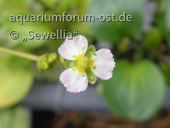 Rundblättriger Froschlöffel (Alisma parviflora) Blüte