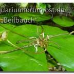 Nymphea daubenyana Adventivpflanze