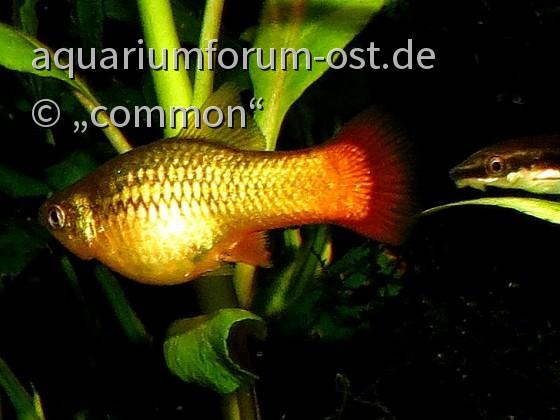 Xiphophorus variatus - Papageienplaty und Otocinclus vittatus