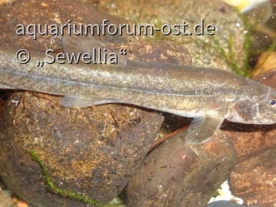 Europäische Bachschmerle (Barbatula barbatula)