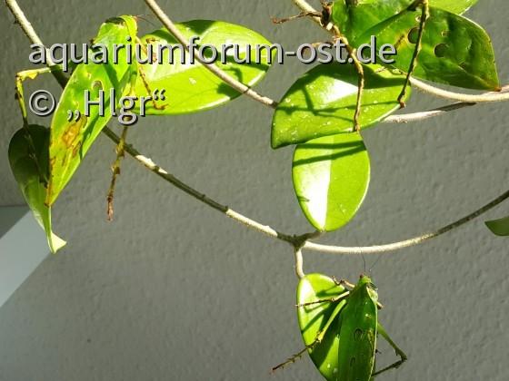 Anchylecha fenestrata in der Frühlingssonne