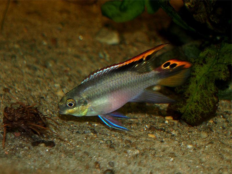 Pelvicachromis pulcher - Männchen