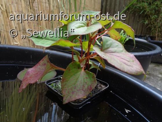 Eidechsenschwanz (Houttuynia cordata variegata)