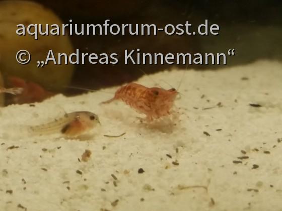 Corydoras Sterbai Nachzucht