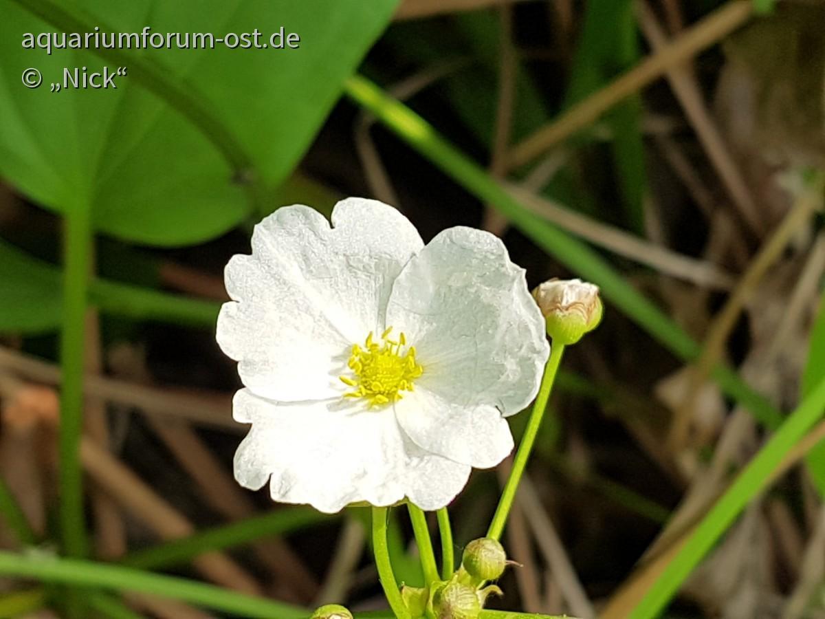 Echinodorus Blühte