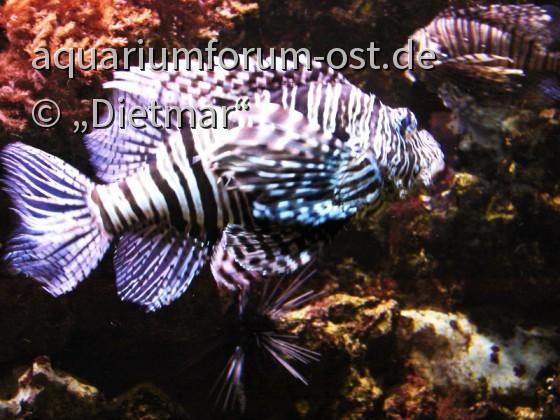 Feuerfisch Pterois volitans