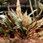 Cryptocoryne walkerii oder Nicks C. wendtii ?