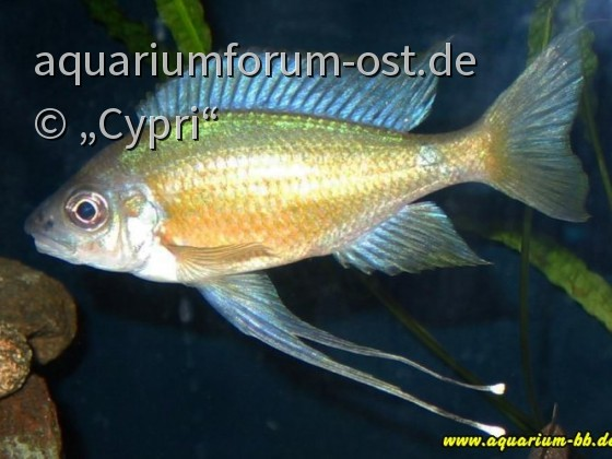 Ophthalmotilapia nasuta gold