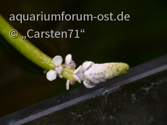 Blüte Aponogeton undulatus