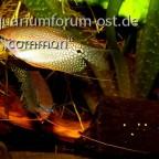 Mosaikfadenfisch, Pärchen , Trichogaster leeri