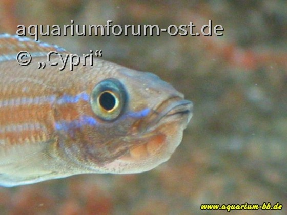 """Paracyprichromis nigripinnis """"Blue Neon"""" Weibchen mit Eiern"""