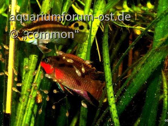 Pelvicachromis taeniata (Nigeria red)