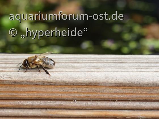 männliche (?) Biene an meinem Terrassenkübel