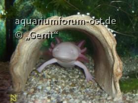 Albino-Axolotl in Höhle