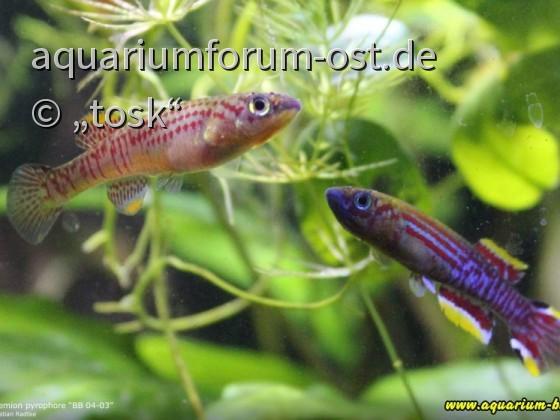 """Aphyosemion pyrophore  Fundort: """"BB 04-03"""""""