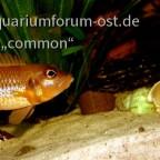 Neolamprologus ocellatus