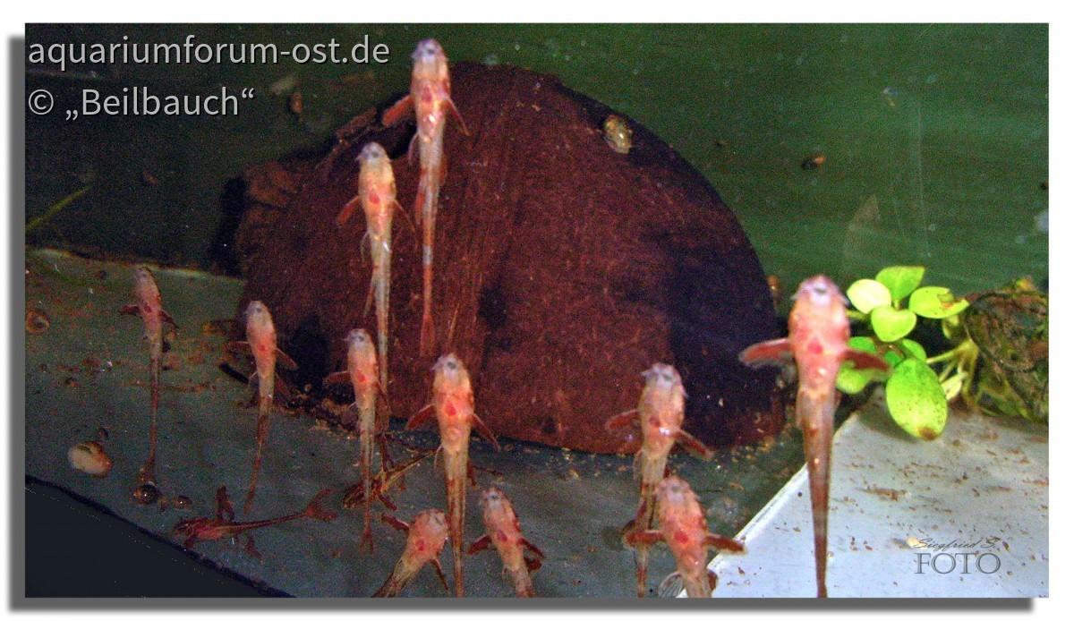 Nachzuchten vom Leliella sp. red (roter Hexenwels)
