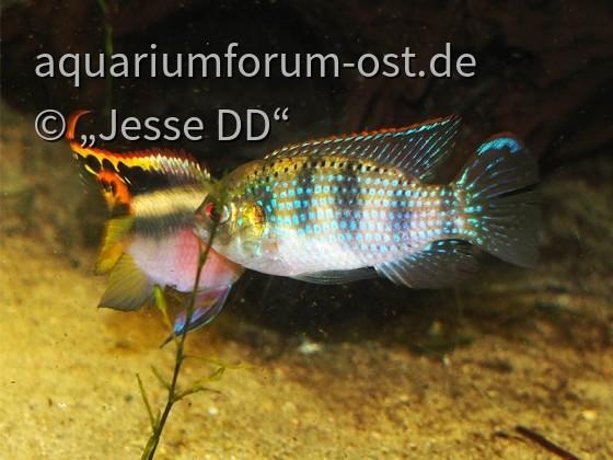 Revierkampf Pelvicachromis vs. Anomalochromis 1