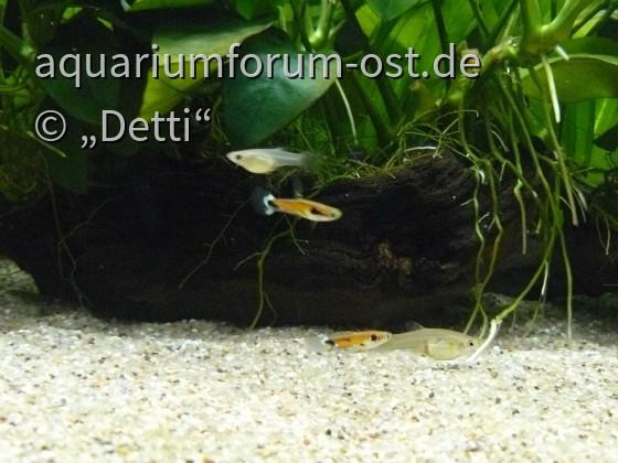 """P. reticulata """"Rio Tefe"""""""
