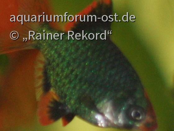 Moosgrüne Sumatrabarbe oder Viergürtelbarbe (Puntigrus cf. tetrazona) 1