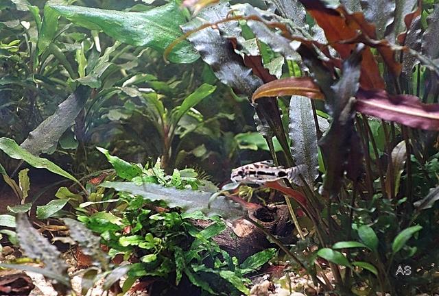 Mittagspause , Corydoras habrosus