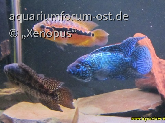 Blue Jack Dempsey + Parachromis loisellei