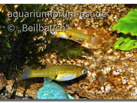 Girardinus uninotatus , Einfleckkärpfling aus Kuba