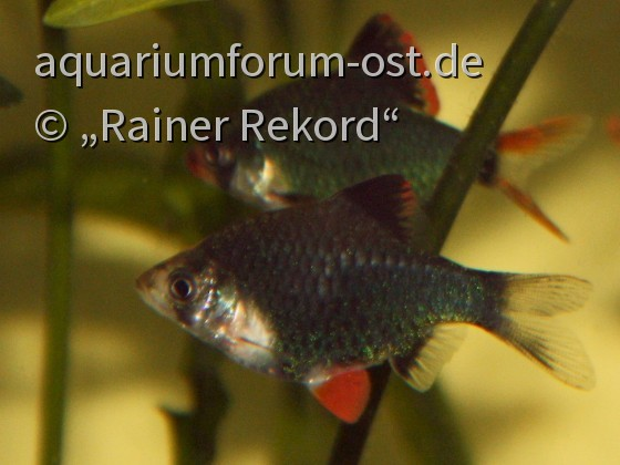 Moosgrüne Sumatrabarbe oder Viergürtelbarbe (Puntigrus cf. tetrazona) 2