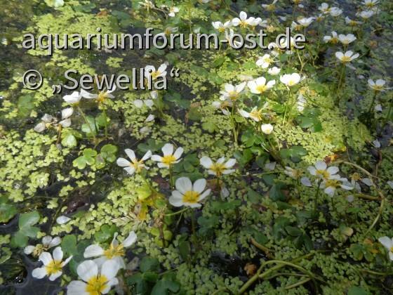 Gewöhnlicher Wasserhahnenfuß Blüten (Ranunculus aquatilis)