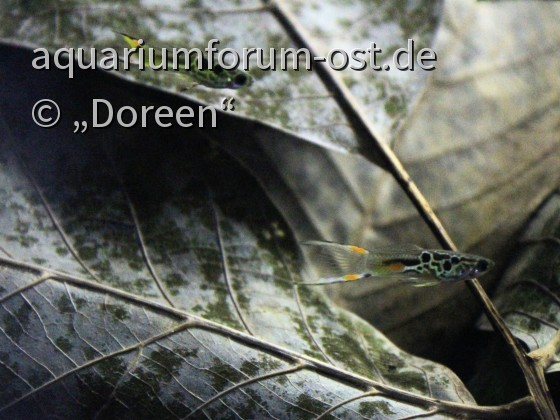 "Poecilia wingei ""Campoma Nr. 40"" - Männchen"