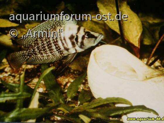 Lamprologus calvus Weibchen