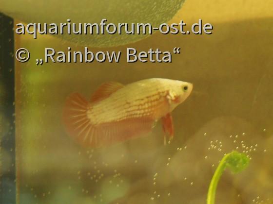 Betta splendens, Orange Dragon, Weibchen