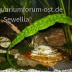Hälfte einer Großen Teichmuschel (Anodonta cygnea)