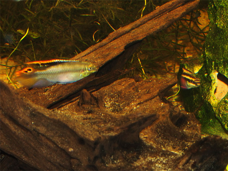 Pelvicachromis pulcher - Paar vor der Bruthöhle
