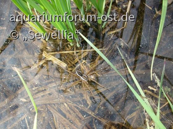 Gerandete Jagdspinne (Dolomedes fimbriatus) im Gartenteich