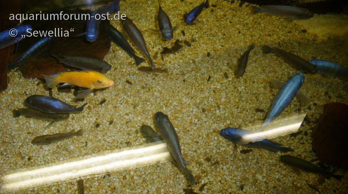 Malawiseebuntbarsche im Bergzoo Halle
