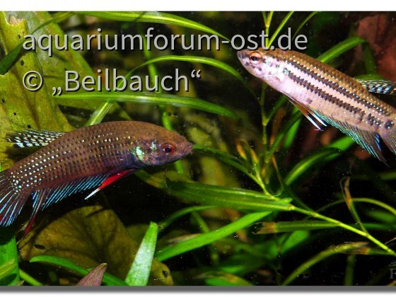 Betta imbellis, Paar
