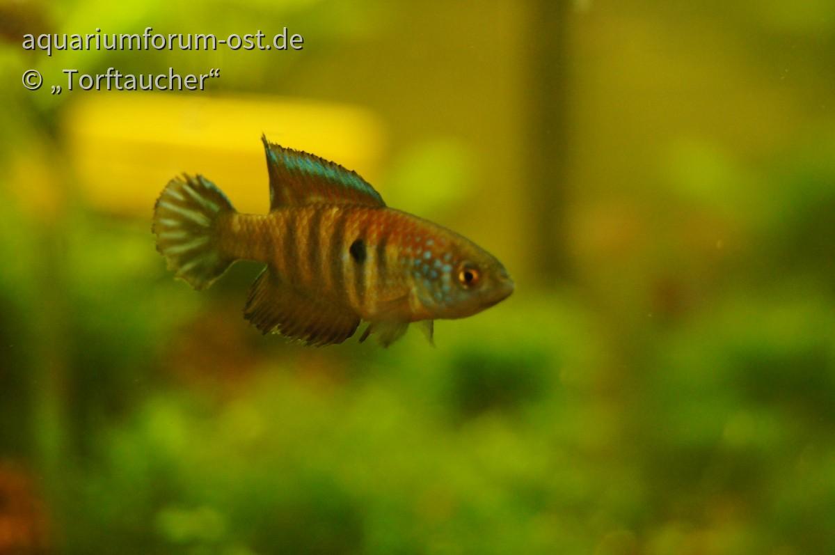 Saisonfisch Hypsolebias radiosus