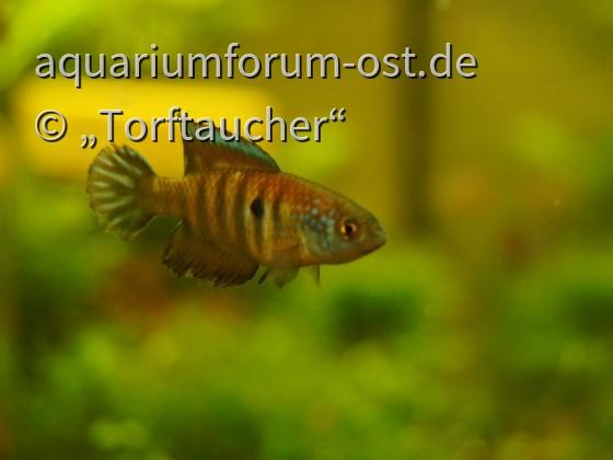 Saisonfische